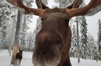 The friendly moose in Swedish lapland